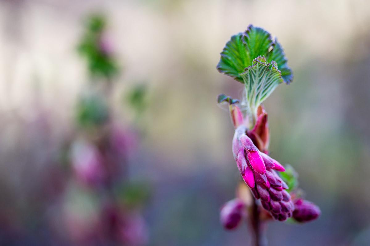 teilweise geschlossener Blütenstand einer wilden Johannisbeere mit unscharfem Hintergrund