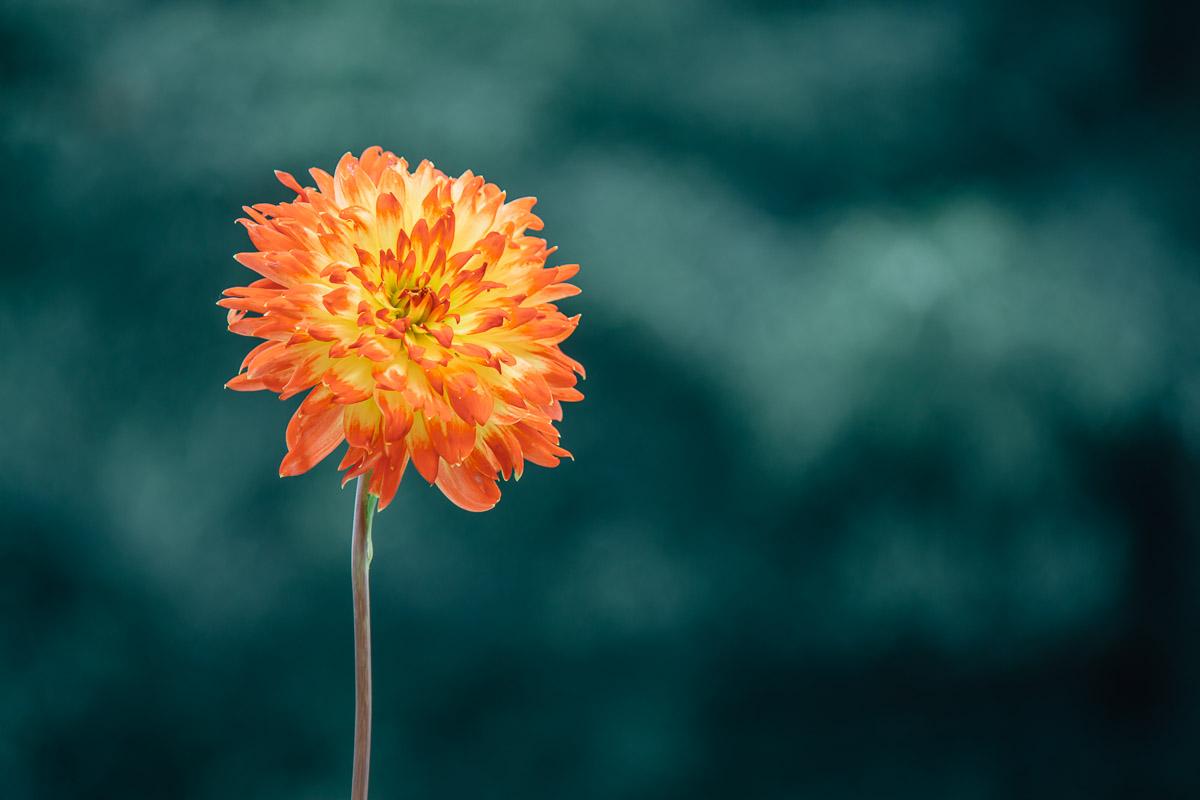 orange dahlia blossom in front of blurred dark-green background