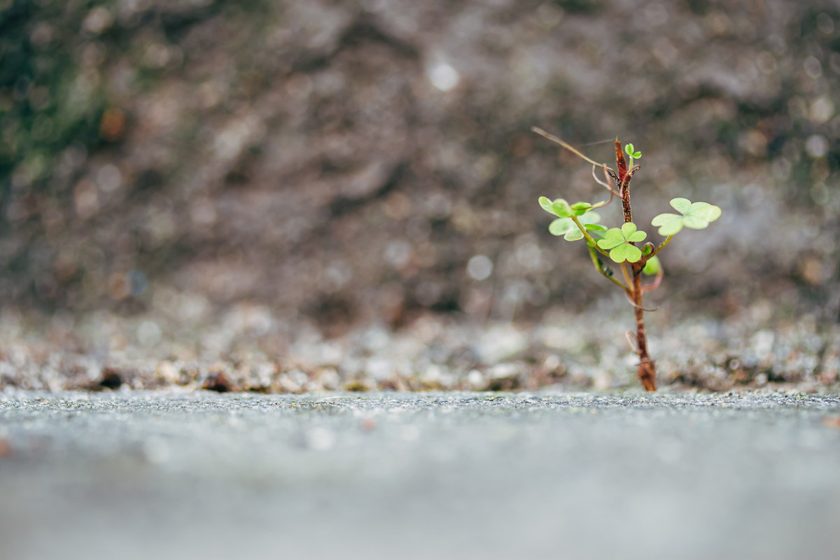 tiny glover plant growing out a gap near a grey wall