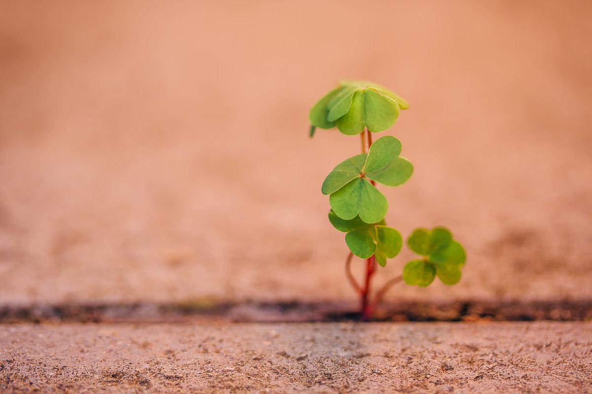 Little clover plant growing in gap between stones