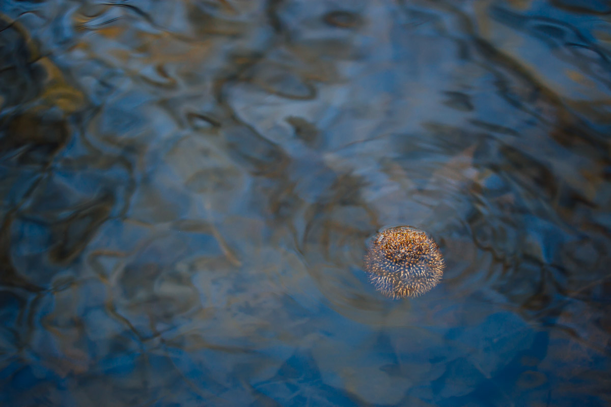 Single plane tree seed capsule drifting in blue water