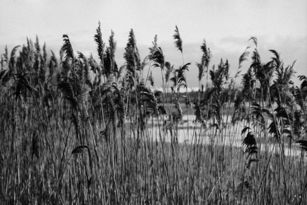 Rows of reed growing near the lake shore