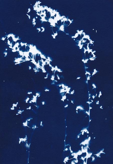 Cyanotype of flowering bridal spray