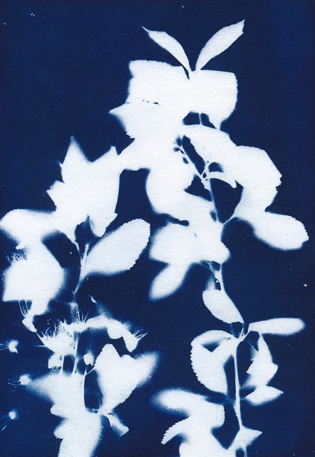 Cyanotype of flowering wild cherry