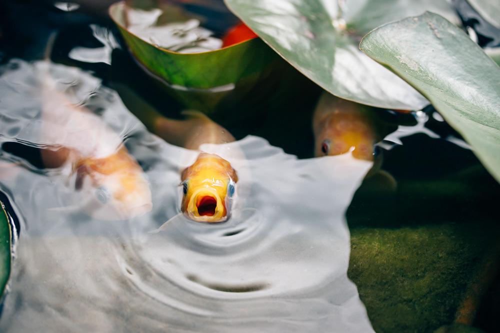 Gelber Goldfisch durchbricht nach Luft schnappend die Wasseroberfläche des Teiches zwischen ein paar grünen Seerosenblättern