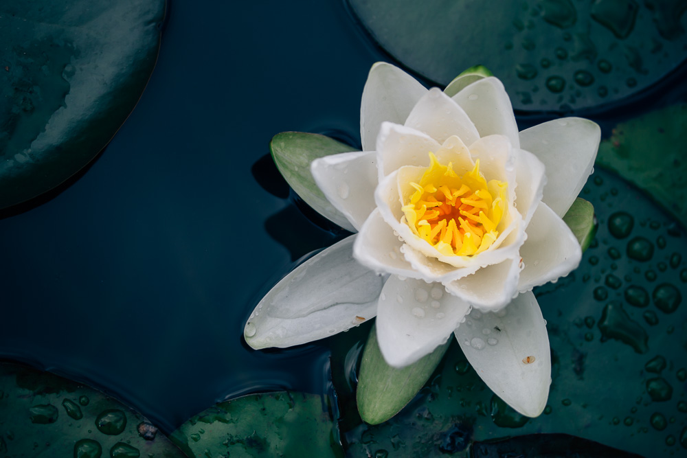Single blossom of a white pond lily drifting on dark green water surface