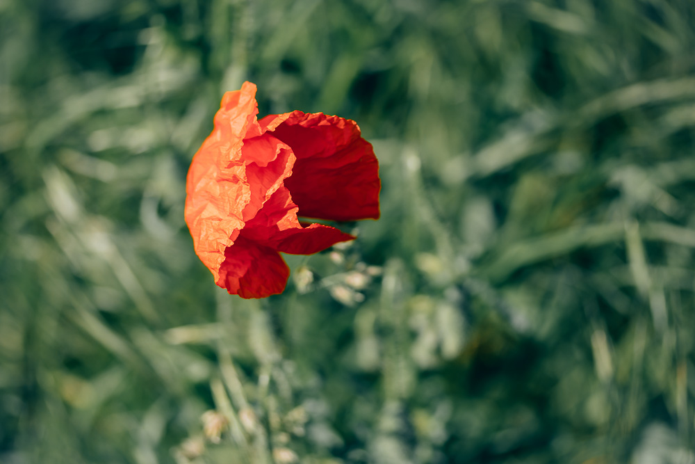 Single red poppy blossom surrounded by blurry green grass