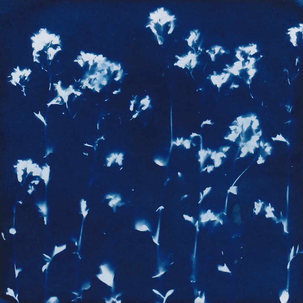 Cyanotype of flowering yellow rocket
