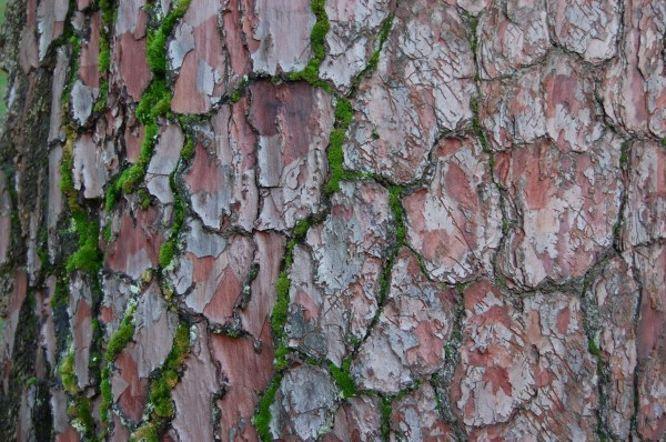 Pinus Pinaster Landscape Architect' Pages