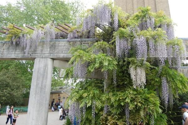 japanese wisteria landscape architect's