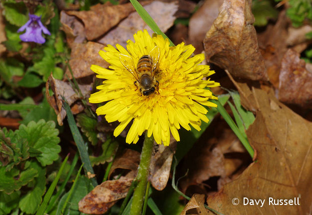 Dandelions are an important nectar source for early pollinators.