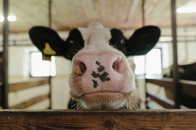 white and black cow head