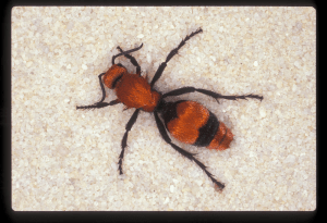 Velvet ant in Florida