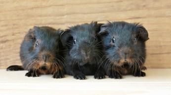 guinea-pig-849278_1280