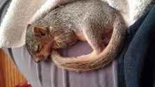sleeping-squirrel-1064590_640