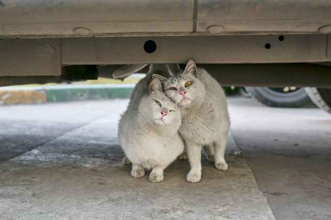 two gray cats cuddling beneath a vehicle