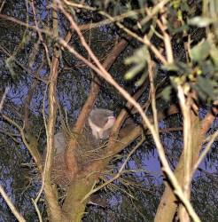Koala central victoria