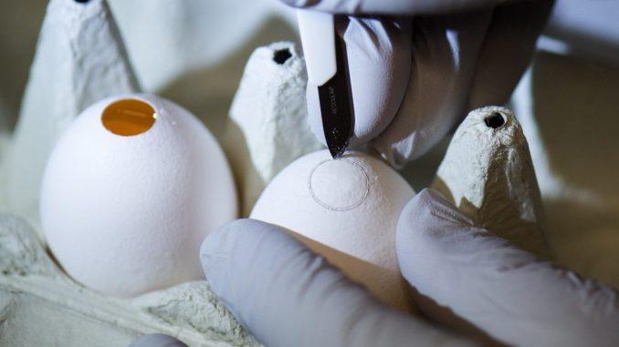 Eine Forscherin öffnet mit einer Pinzette ein Hühnerei. Foto: A. Burgi/Archiv