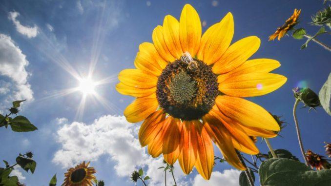 Sonne und Blume. Foto: Frank Rumpenhorst/Archiv