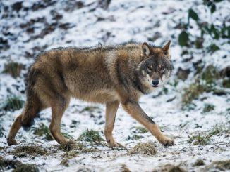 Ein Wolf. Foto: Bernd Thissen/Archiv