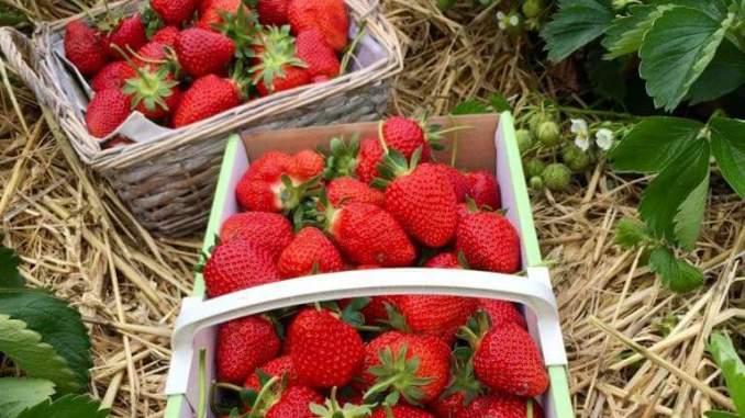 Ab sofort können in Sachsen wieder auf den Feldern Erdbeeren selbst gepflückt werden. (Foto: Juliane Zönnchen)