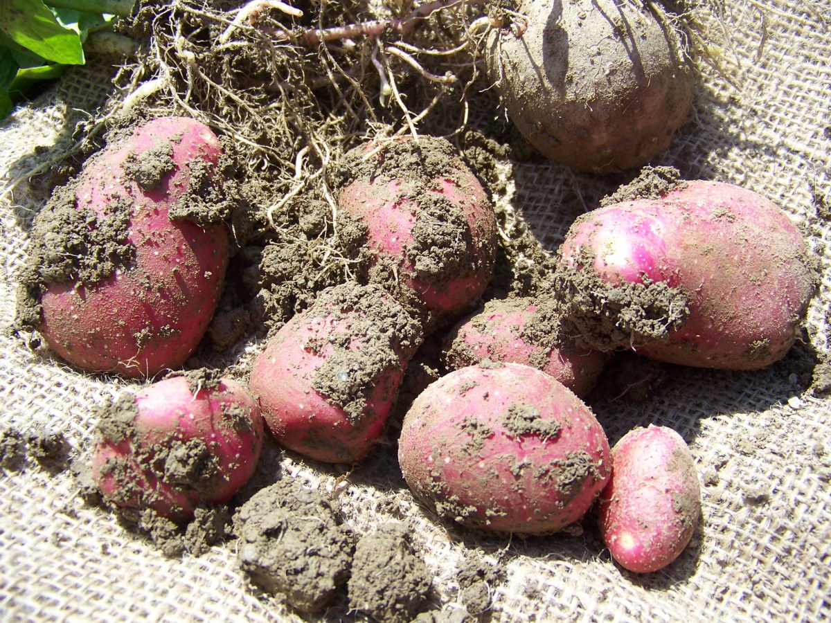 Kartoffelfest lockt auf den Altmarkt