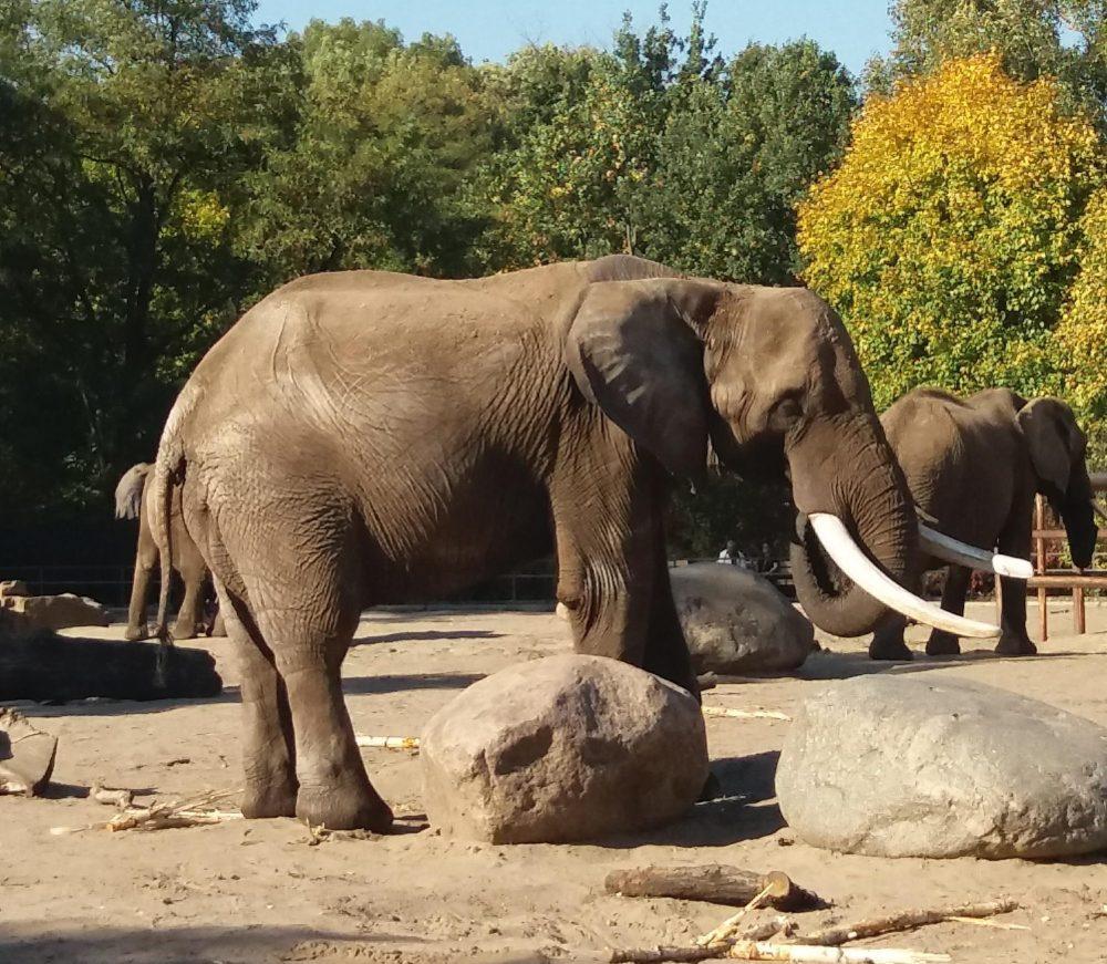 Endlich: Zuchtbulle für Dresdner Elefantendamen ist da
