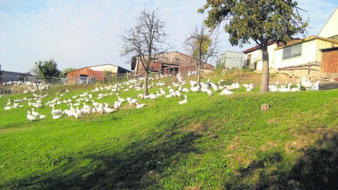 Frische Omsewitzer Freilandgänse vom Bauerhof Steffen Kühne in DResden Omsewitz // Foto: PR