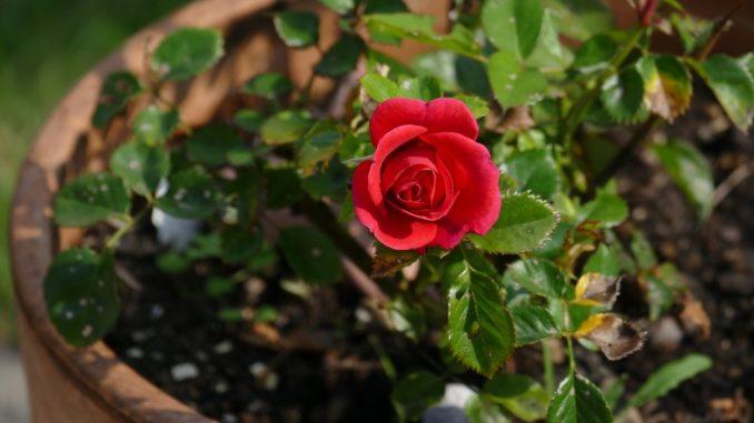 Pflegeleichte Rosen