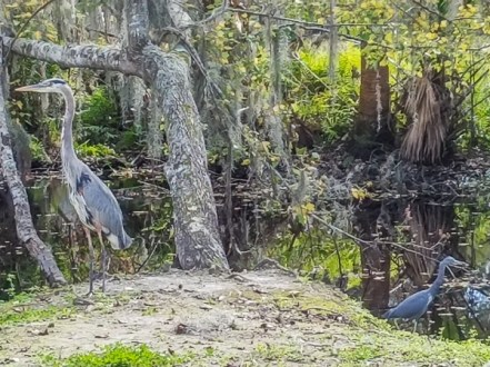 Hank the big heron and the little one we called Baby Blue