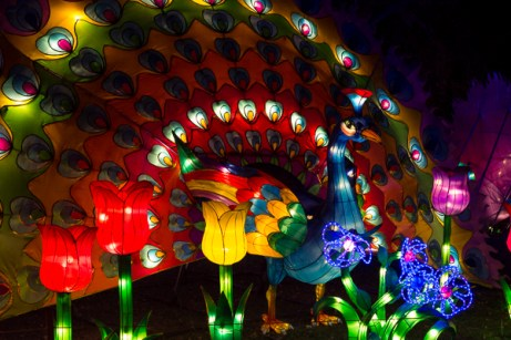 Peacock - Chinese Light Festival