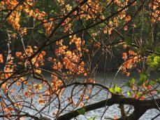 Røde blade - enten en genetisk forandring eller en selvsået have-variant