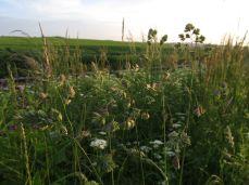 Mere græs, bemærk hvordan den oprindeligt tætte samling blomster skiller i mindre klumper på lange stilke