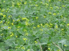 Her er et nærbillede, som viser hvordan de gule blomster vokser op mellem raps-bladene