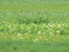 På syd-marken er der hvide blomster mellem rapsen