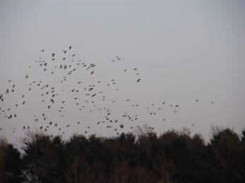 Et sted skræmte jeg en kæmpe flok krager, som flygtede over til nærmeste lund hvor en anden flok skræppede op