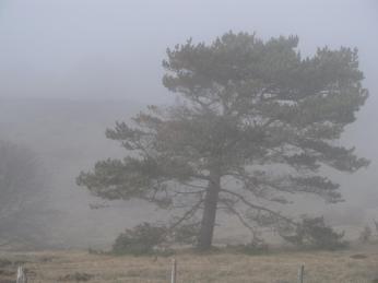 Se de fritstående fyrretræer får en anden facon