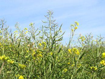 En anden plante: Der er mange nye blomstrende skud