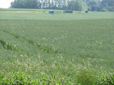 29.Juni: indover - jeg ser mange andre græsser