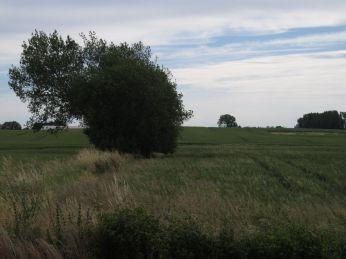 11. Juli: græsser stikker hovedet op over hvedens aks