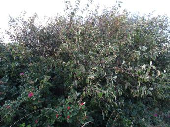 Når der går et par skyer for solen skifter den grønne farve (nøjagtig samme træ som foregående billede! et par sekunder efter!) se efter æblerne