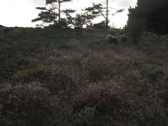 Tilbage på Heatherhill ser jeg fårene omrids lyse