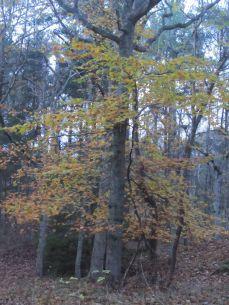 På vej hjem var der et enkelt bøgetræ med gulgrønne, smukke blade