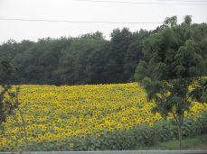 Hjemad - smukke landskaber i Hessen, her: en solsikkemark