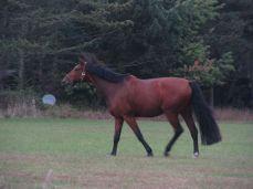Denne hest har en dårlig fod (med hovbeskytter) men den bevæger sig meget smukt alligevel