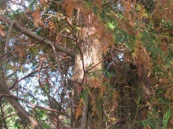 Solen skinner på stammen i 2 meters højde - nederst er den tykkere