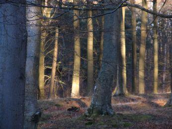 Bøgetræer - vinterlys