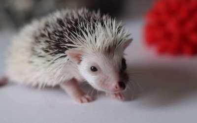 Hedgehog Buddy – Who is he?