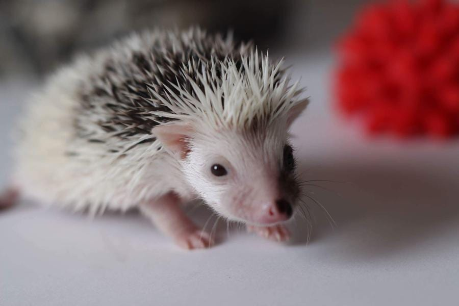 "Hedgehog Buddy – Who is he?<span class=""wtr-time-wrap block after-title""><span class=""wtr-time-number"">2</span> min read</span>"