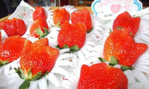 静岡 いちご狩り 常吉いちご園 蜜いちご かなみひめ ダヤンテールblog